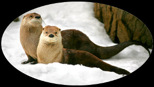 Two otters in the snow